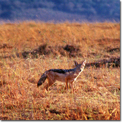 Black-backed jackal in Masai Mara National Reserve. Javier Yanes/Kenyalogy.com