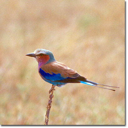 Lilac-breasted roller in Masai Mara National Reserve. Javier Yanes/Kenyalogy.com