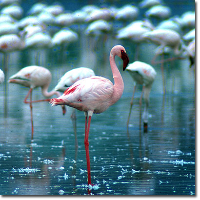 Lesser flamingos at Lake Nakuru. Javier Yanes/Kenyalogy.com