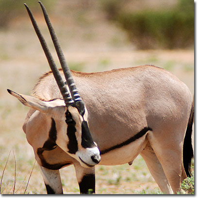 Beisa oryx in Samburu National Reserve. Javier Yanes/Kenyalogy.com