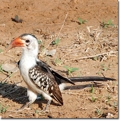 Red-billed hornbill in Samburu National Reserve. Javier Yanes/Kenyalogy.com