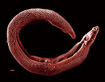 Dinesat 9 Full + Crack - Página 3 Schistosoma