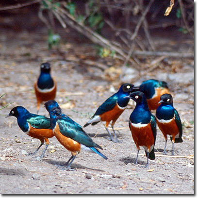 Superb starlings at Sweetwaters Game Reserve. Javier Yanes/Kenyalogy.com